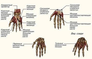 Мышцы тенара