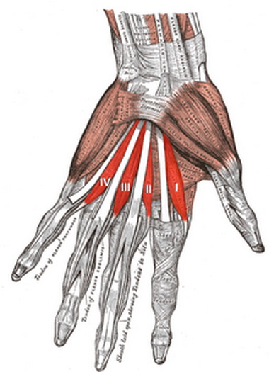 Червеобразные мышцы