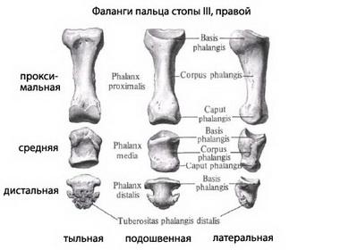 Дистальные межфаланговые суставы II—V пальца