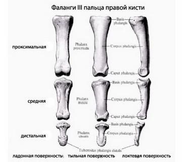 Проксимальные межфаланговые суставы II—V пальца