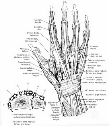 Поверхностный сгибатель пальцев