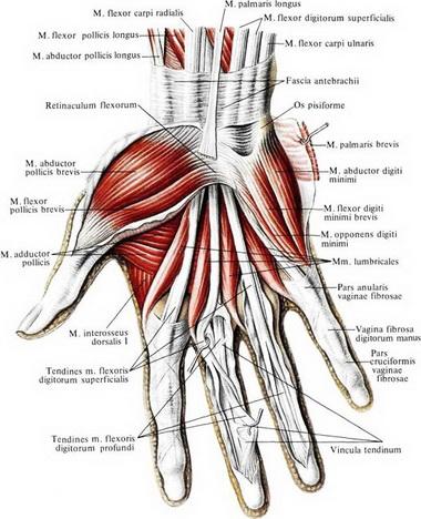 Короткие (аутохтонные) мышцы всех пальцев