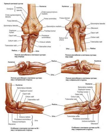 Луче-локтевые суставы