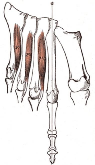 Длинные мышцы пальцев и большого пальца