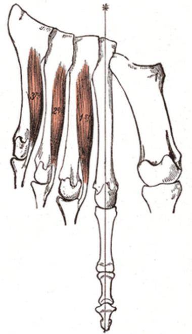 Межкостные мышцы