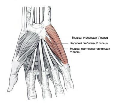 Мышцы гипотенара