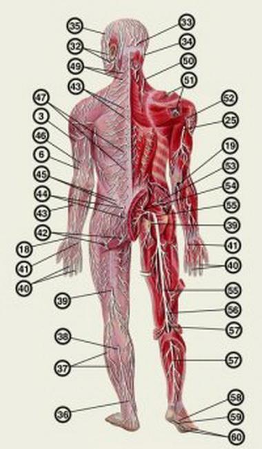 Скорость проведения и дистальное лотентное время ответа для нервов верхней конечности