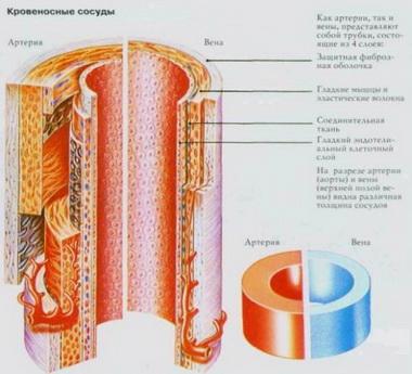 Нервы и сосуды