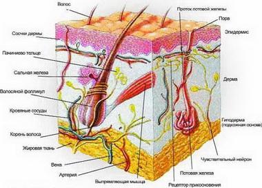 Исследование чувствительности кожи