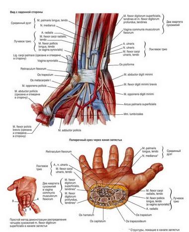 Биология сращения сухожилия